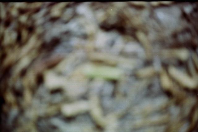 vegetal vortex