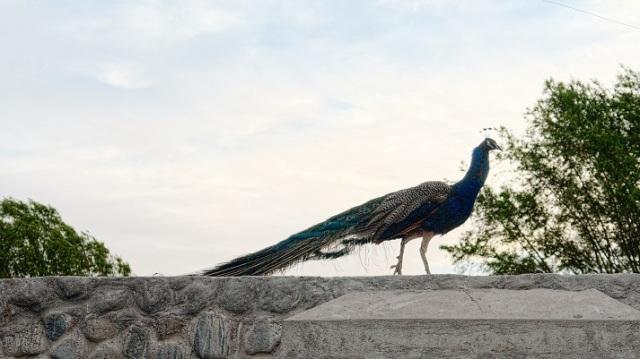 Walking in royal blue
