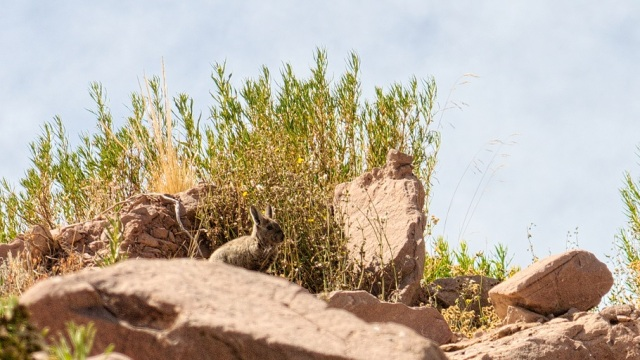 fearless viscacha