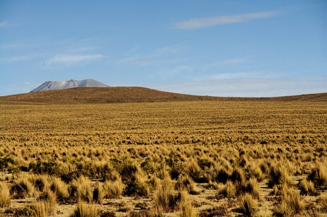 Vicuñas lost in the ichu