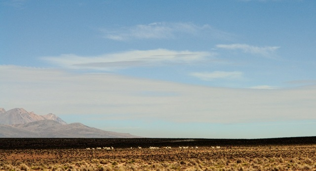 White line of alpacas