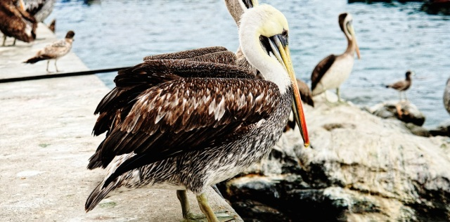 peruvian pelican thinking in pelicans of other countries