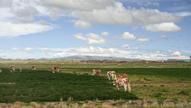 vacas pardas
